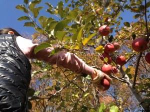 りんご狩り10